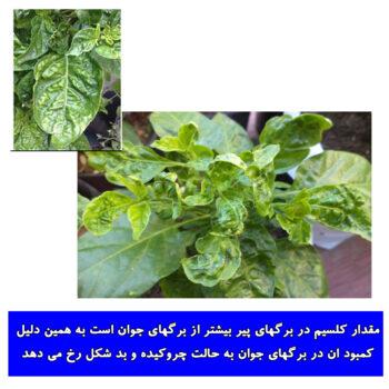 کمبود کلسیم در گیاهان