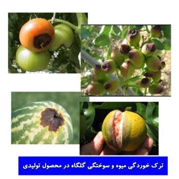 سوختگی گلگاه و ترک خوردگی میوه بر اثر کمبود کلسیم